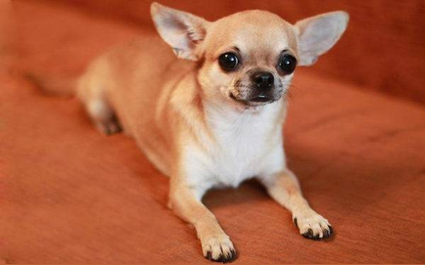 Chihuahua features