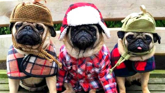 Funny pugs in clothes photo